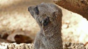 警惕meerkat画象  海岛猫鼬类suricatta慢动作 股票视频