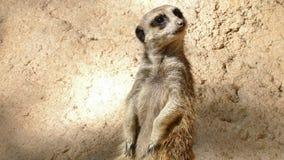 警惕meerkat画象  海岛猫鼬类suricatta 影视素材