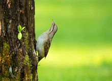 警惕Wryneck (蚁7 torquilla)在树干 库存照片