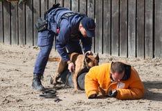 警犬在工作 免版税库存照片