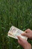 计数印地安金钱的农夫在豪华的绿色麦子农场,繁荣的标志 免版税库存图片