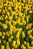 计数黄色郁金香 库存照片