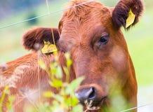 认为深刻的toughts的母牛 免版税库存图片