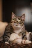 认为的猫 免版税库存照片
