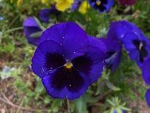 认为的紫罗兰色花 免版税库存图片