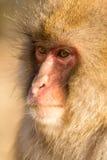 认为的猴子 免版税库存图片