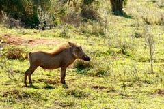 认为-非洲野猪属africanus共同的warthog 免版税库存图片