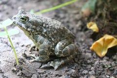 讨厌的青蛙 免版税图库摄影