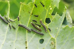 讨厌的黑毛虫在嫩卷心菜叶子爬行并且吃他们在农场的庭院里在夏天 免版税库存图片