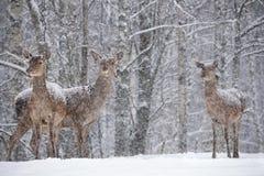让它下雪:三搽粉了与雪女性雷德迪尔鹿Elaphus立场在斯诺伊桦树森林和雪花背景  免版税库存图片