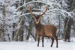 让它下雪:与伟大的垫铁的积雪的雷德迪尔雄鹿鹿Elaphus站立斜向一边反对斯诺伊森林和雪花 r 免版税库存图片