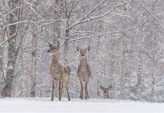 让它下雪:两积雪的雷德迪尔Cervidae立场在一头积雪的桦树ForestTwo母高尚的鹿的郊区 免版税图库摄影