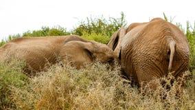 让路-非洲人布什大象 免版税库存图片