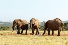 让去-非洲人布什大象 免版税库存图片