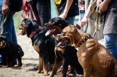 训练服务狗 教的队 专题培训站点 免版税图库摄影