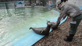 训练斑海豹(海豹属vitulina) 股票录像