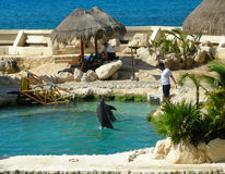 训练海豚在科苏梅尔 库存图片