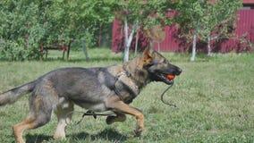 训练狗的一个年轻人 库存图片