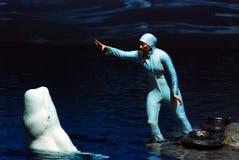 训练白海豚鲸鱼 库存图片