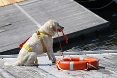 训练的抢救狗 免版税库存图片