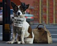 训练的狗请求大香肠 免版税库存图片