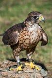 训练的saker猎鹰 免版税库存照片