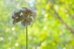 议院植物大竺葵白色 图库摄影