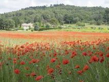 议院用法语与领域的普罗旺斯地区有很多红色开花的鸦片 图库摄影