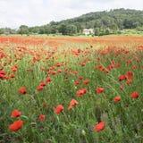 议院用法语与领域的普罗旺斯地区有很多红色开花的鸦片 库存照片