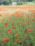 议院用法语与领域的普罗旺斯地区有很多红色开花的鸦片 免版税图库摄影