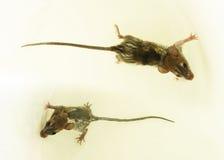 议院鼠在水中 免版税库存图片