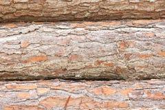 记录杉木三结构树 免版税库存图片