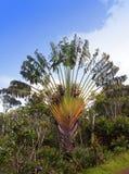 记录的结构树(Ravenala madagascariensis),停放黑色河峡谷 毛里求斯 库存图片