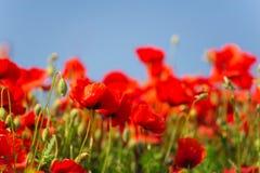 记忆天,安扎克天,平静 鸦片罂粟,植物的植物,生态 鸦片花田,收获 夏天和春天, la 库存图片