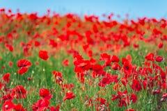 记忆天,安扎克天,平静 鸦片罂粟,植物的植物,生态 鸦片花田,收获 夏天和春天, la 免版税图库摄影