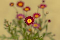 记忆天/星期天的红色花 库存照片