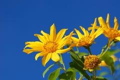 许多万寿菊花或墨西哥向日葵和天空蔚蓝背景, 库存图片