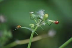许多上色了瓢虫/瓢虫在一次单发射击 免版税图库摄影