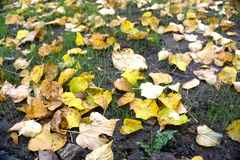 许多下落的槭树叶子在草,晚秋天季节说谎 干燥棕色和豪华的低俗新闻与小桦树叶子混合了 免版税库存照片