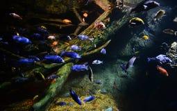 许多丽鱼科鱼 库存照片