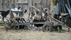许多乐趣山羊在遗弃支架的老农场 影视素材