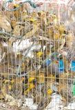 许多亚裔金黄织布工是监禁在笼子。 免版税图库摄影
