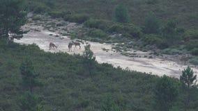 许多公鹿在防火线,轰鸣声时间 股票视频