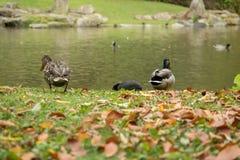 许多在公园野鸭  免版税库存图片