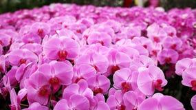 许多在庭院的桃红色兰花花 免版税库存照片
