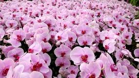 许多在庭院的桃红色白色兰花花 免版税库存照片