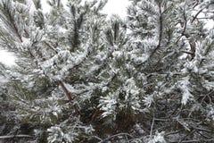 许多在杉木分支的雪  图库摄影