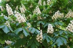 许多在欧洲七叶树leafage的白花  免版税库存图片