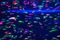 许多在水族馆的小霓虹鱼 图库摄影