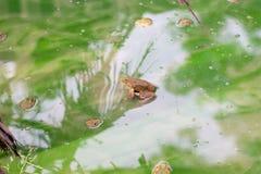 许多在水的青蛙在水泥块,在日志的牛蛙 库存图片
